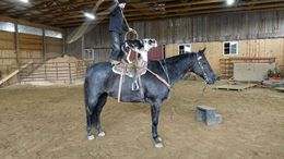 Roan Quarter Horse in Baltimore, MD