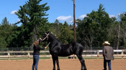 Black Percheron in Vulcan, MI