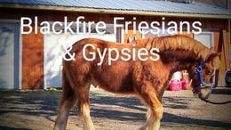 Silver Dapple Friesian Cross in Medford, OR