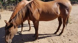 Sorrel Quarter Horse in Clayton, CA