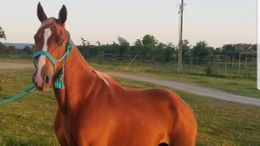 Chestnut Tennessee Walker in Hampton, GA