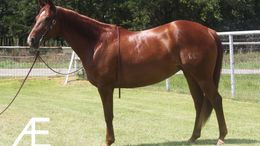Sorrel Quarter Horse in Springtown, TX