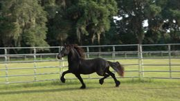 Black Friesian in Ocala, FL