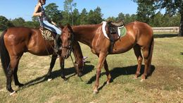 Chestnut Quarter Horse in Camden, SC