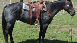 Roan Quarter Horse in Fort Worth, TX