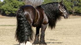 Black Gypsy Vanner in Lansing, MI