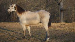 Buckskin Tennessee Walker in Boise, ID