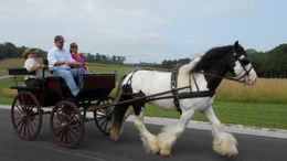 Other Gypsy Vanner in Richmond, VA