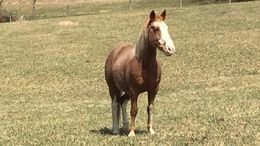 Roan Quarter Pony in Manns Choice, PA
