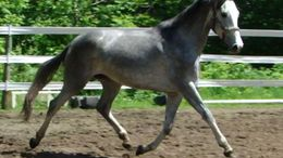 Grey Dutch Warmblood in Baldwinsville, NY