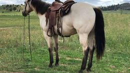 Buckskin Quarter Horse in Minneapolis, Coon Rapids, MN