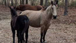 Buckskin Quarter Horse in Wake Forest, NC