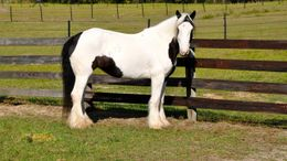 White Gypsy Vanner in Provo, UT