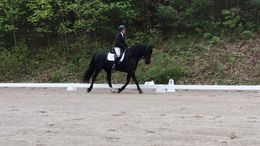 Black Friesian in Hatfield, MA