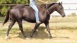 Black Quarter Horse in Dallas, TX
