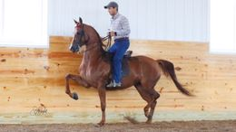 Chestnut Half-Arabian in Friendsville, TN