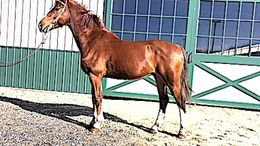 Sorrel Dutch Warmblood in Farmingdale, NJ