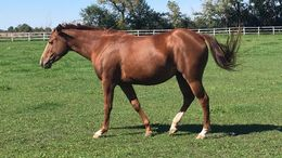 Chestnut Quarter Horse in Richmond, IL
