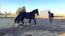 Black Clydesdale in Loda, IL