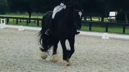 Black Gypsy Vanner in MORRISTON, FL