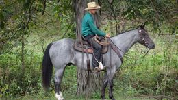 Roan Quarter Horse in Greenville, SC