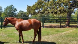 Sorrel Quarter Horse in Saint Jo, TX