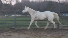 Grey Quarter Horse in Kenly, NC