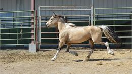 Buckskin Mustang in Yamhill, OR