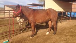 Brown Quarter Horse in Wickenburg, AZ