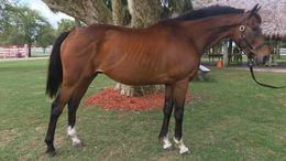 Bay Thoroughbred in Indiantown, TN