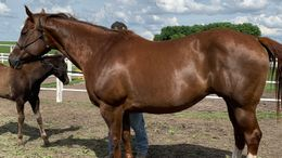 Chestnut Quarter Horse in Claremont, MN