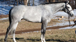 Grey Thoroughbred in Andover, NJ