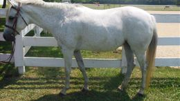 Grey Welsh Pony in Arrington, TN