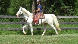 White Tennessee Walker in Flint Hill, VA