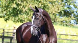 Black Dutch Warmblood in Billings, MT