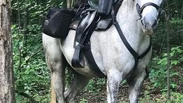 Grey Tennessee Walker in Utica, KY