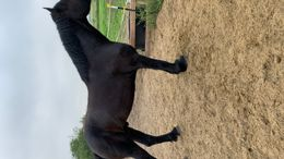 Black Percheron in Seguin, TX