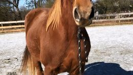 Chestnut Tennessee Walker in Westminster, SC