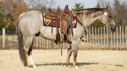 Roan Quarter Horse in Lawrenceville, GA