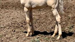 Cremello Quarter Horse in Ammon, ID