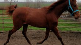 Chestnut American Saddlebred in Blacksburg, VA