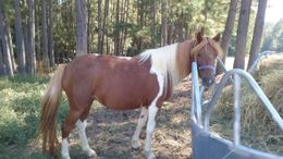 Pinto Ponies in Chesterfield, VA