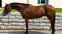 Bay Quarter Horse in Northfield, MA