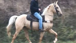 Palomino Tennessee Walker in West Liberty, KY
