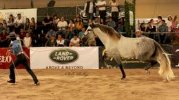 Grey Andalusian in Mansfield, TX