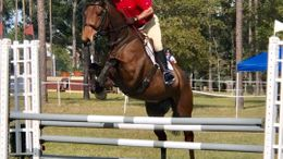 Bay Swedish Warmblood in Ocala, FL