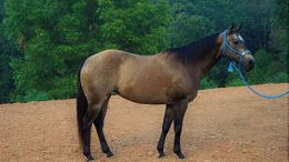 Brown Quarter Horse in Hamilton County, IN