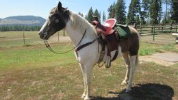 Pinto Tennessee Walker in Colville, WA