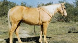 Palomino Quarter Horse in Saint Louis, MO