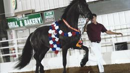 Black Friesian in Elizabeth, WV